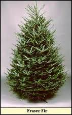 compare varieties illinois christmas tree association