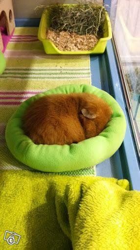 bedding for guinea pigs 25 best ideas about guinea pig bedding on pinterest