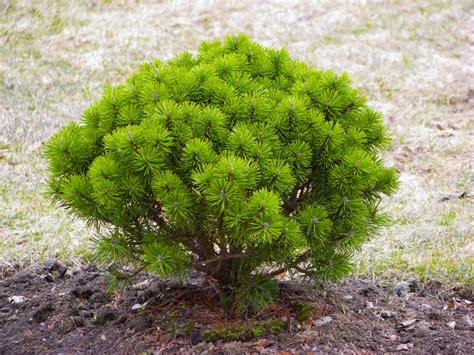 Landscape Shrubs Pictures Images Of Trees In Landscape Design Transplanting Of