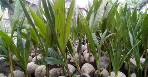 Harga Bibit Kelapa Entok jual bibit kelapa kopyor dan buah kopyor