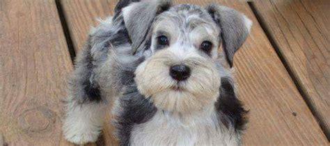 miniature schnauzer puppies rescue schnauzer adoption beliebte hunderassen foto