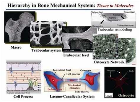 bone adaptation in silico approach frontiers of biomechanics books biomechanics department of micro engineering kyoto