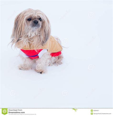 shih tzu coats jackets small wearing jacket in winter stock image image 36284871