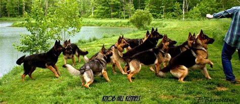 Knob Hill Kennels knob hill kennels german shepherds knobs