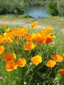 california poppy golden poppy california photo 432916 fanpop