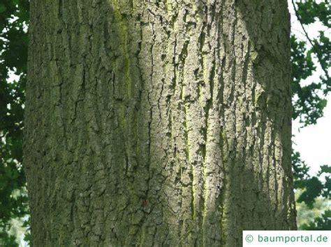 Rinde Der Eiche by Stiel Eiche Quercus Robur