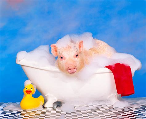 pig in a bathtub suds animal stock photos kimballstock