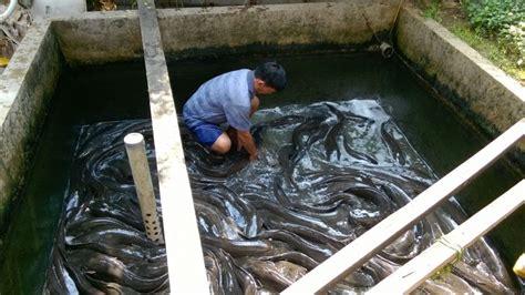 berternak ikan lele dumbo rtn ikan lele cara mudah beternak budidaya di kolam terpal