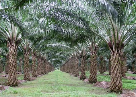 Minyak Kelapa Sawit Terbaru serba serbi mengenai kebun kelapa sawit budidaya kelapa