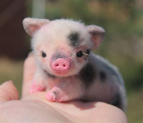 Best 25  Pigs ideas on Pinterest   Cute piglets, Cute pigs