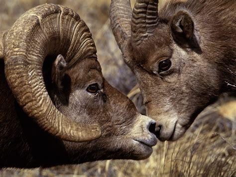 rams animal images of ram animals name two bid horn animals fighting
