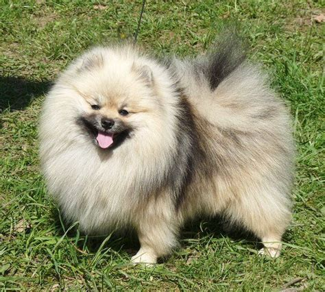 papillon vs pomeranian 29 best images about poms n papis on pomeranian dogs information and