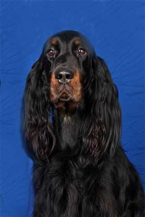 english setter girl dog names 26 best images about gordon setter on pinterest limited