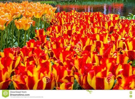 netherlands flower garden of europe park keukenhof lisse