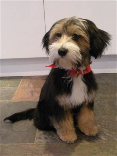 hair cuts for the tebelan terrier barney puppy love related keywords suggestions barney