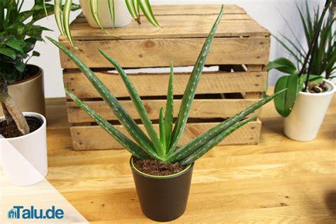 Pflege Aloe Vera Pflanzen 2373 by Aloe Vera Pflanze Alles 252 Ber Die Pflege Talu De