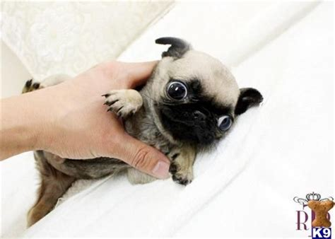 pics of teacup pugs teacup pug puppy with some googly animal pics