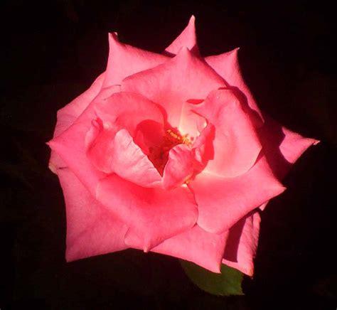 Sabun Venus wahyuti journal mawar sang penebar pesona