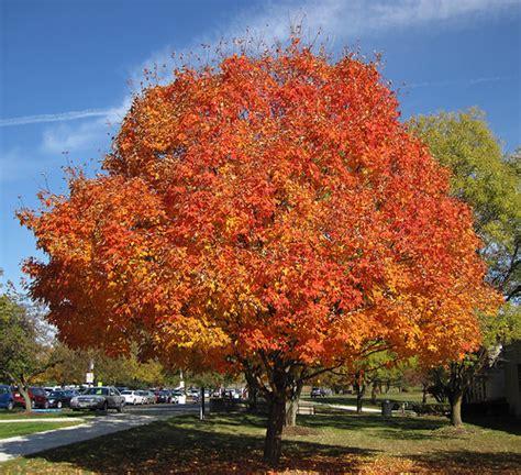 maple tree east acer saccharum sugar maple tree in fall colors newark c flickr