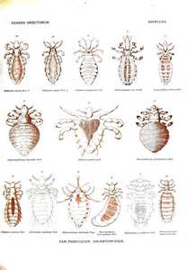 animal insect body lice vintage printable at swivelchair media beta