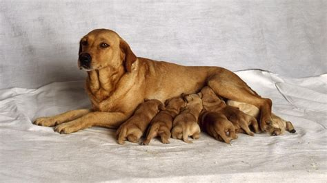how does it take for a puppy to grow how does it take a to give birth reference
