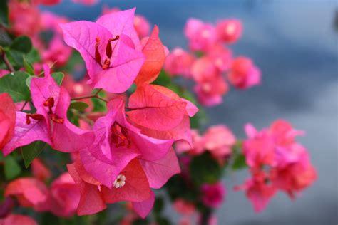 daftar tanaman hias  berbunga tanaman magz