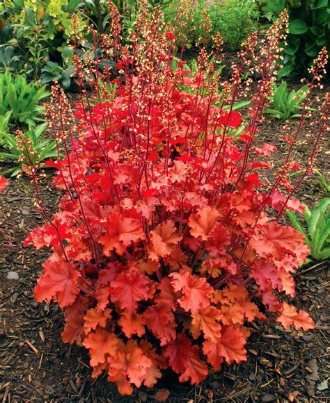 coral bells auntie dogma s garden spot