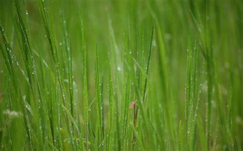 gambar gambar rumput  tinggi