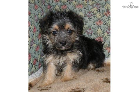 yorkie poo names this yorkie poo is a handsome alert boy breeds picture