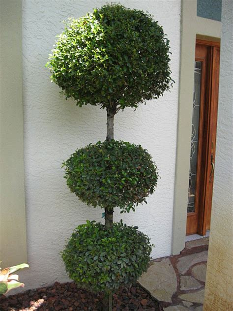 eugenia topiary care eugenia topiary plant www imgkid the image kid has it
