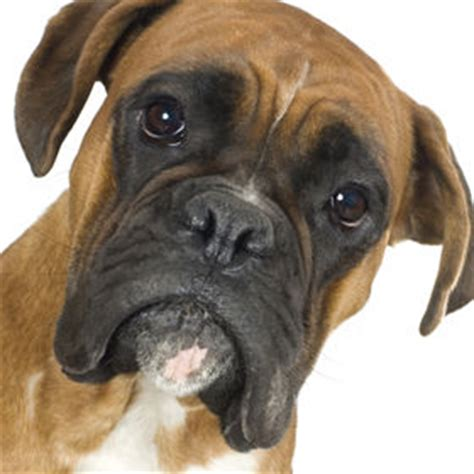 how much are boxer puppies boxer boxer puppy boxerdog boxerpuppy care guide boxer tips