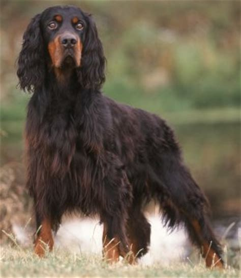 what does a setter dog look like gordon setters what s good about em what s bad about em