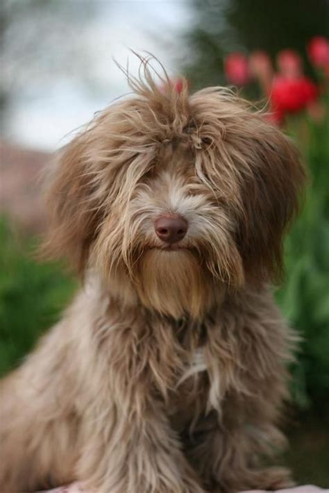 best havanese names 1000 ideas about havanese puppies on havanese puppies for sale shih tzu
