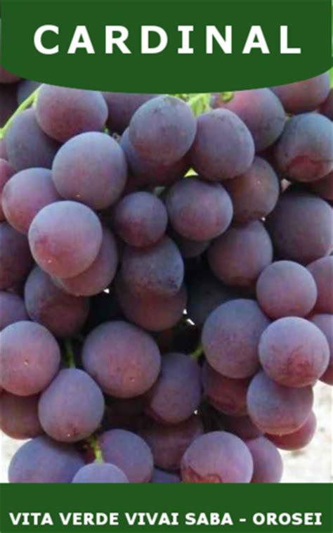 barbatelle uva da tavola barbatelle uva da tavola vita verde vivai web market