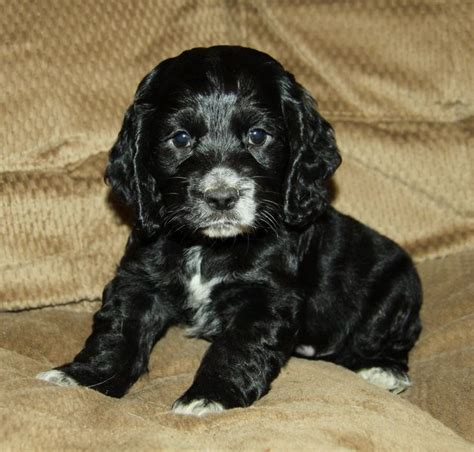 black and white cocker spaniel puppies best 25 cocker spaniel for sale ideas on spaniels for sale spaniel