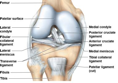 tibiofemoral joint and coxal joint school 101 with