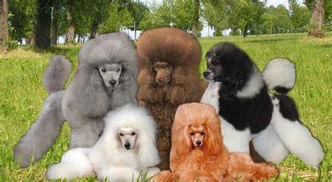 poodle colors poodle colors miniature and standard poodle colors