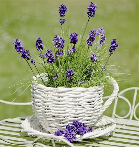 lavender plant care it needs a little bit of time and expertise
