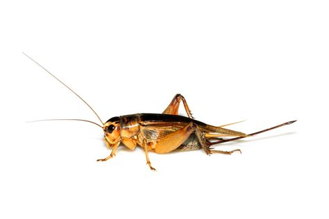 crickets how to get rid of crickets do my