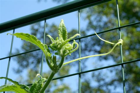 climbing cucumber plants garden fencing protection from deer rabbit proof critter