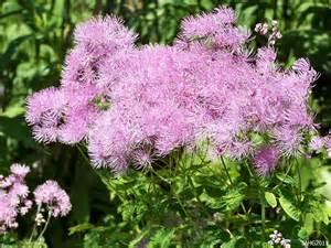Large Foliage Plants - thalictrum aquilegifolium name that plant