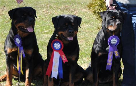 rottweiler club of america rottweiler club of canada upcoming events photo
