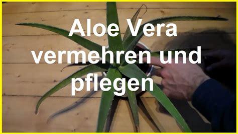 Ableger Aloe Vera by Aloe Vera Vermehren Und Pflegen Aloe Vera Kindel Ableger