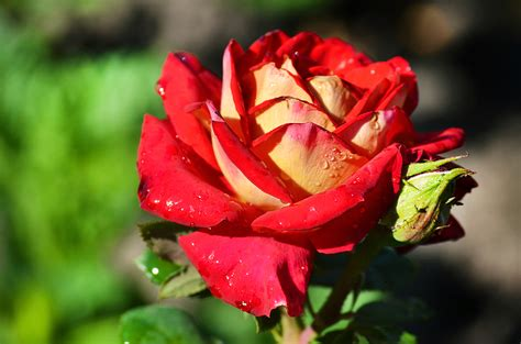 Cabbage Roses   A Cabbage Rose Must Read!