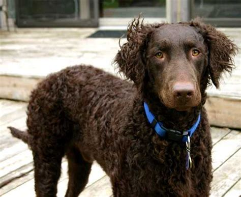 About Dog Curly-Coated Retriever
