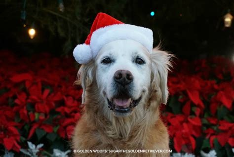 poinsettia and dogs are poinsettias poisonous to pets golden woofs