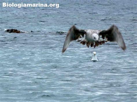 volo gabbiano gabbiano reale scuola volo biologia marina mediterraneo