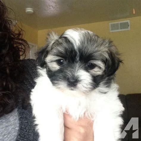 yorkies for sale in san jose ca adorable shih tzu and yorkie puppies for sale in san jose california classified