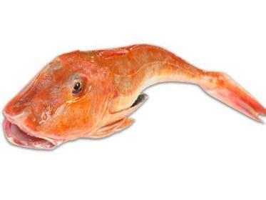 come si cucina la gallinella di mare gallinella di mare mazzola pesce alimentipedia