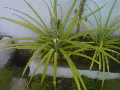 tanaman hias  pohon nanas